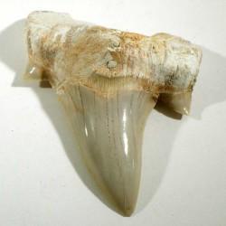 Dent de requin du Maroc 5cm - fossile de collection
