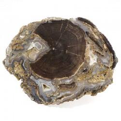 Plaque de bois fossile - platane des USA