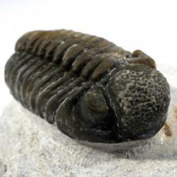 Trilobite phacops du Maroc - fossile de collection