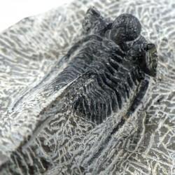 Trilobite Cyphaspis Otarion du Maroc - fossile de collection