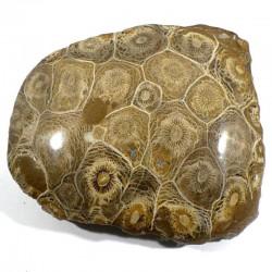 Corail fossile arachnophyllum du Maroc