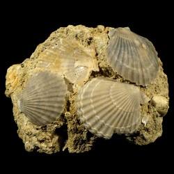 Pecten mediterraneus fossile du Pliocène d'Italie