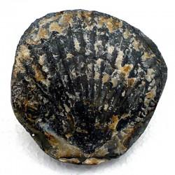 Pecten fossile du Miocène des USA